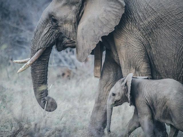 post_elephant_matriarch1200