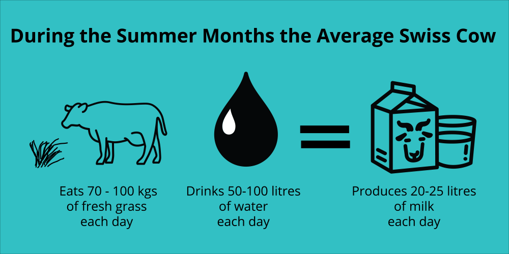 An infographic showing that swiss dairy cows eat 70-100 kgs of fresh grass each day and drink 50-100 litres of water each day to produce 20-25 litres of milk each day.