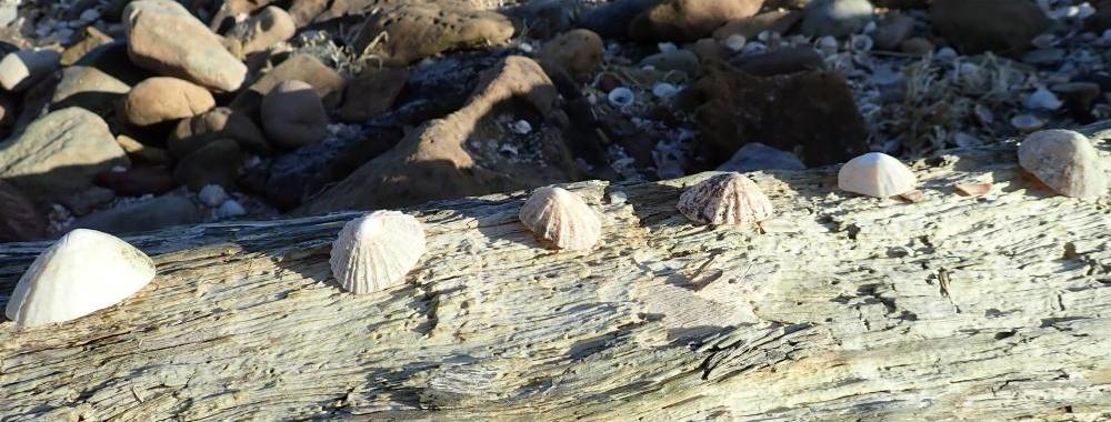 Jennie Martin Ethnobotany Limpet shells