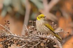 Yellow-plumed honeyeater