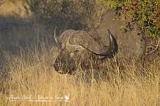 Bashful buffalo in the long grass