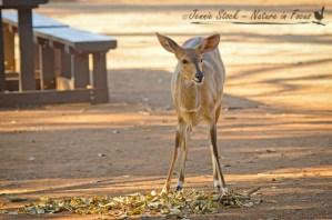 Bushbuck at Tshokwane©Jennie Stock – Nature in focus