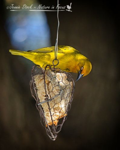 Cape weaver on a wire feeder.