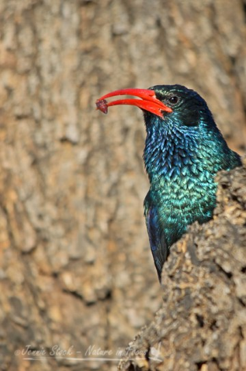Green wood hoopoe (or Red-billed) foraging for bugs