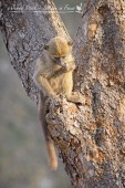 Baboon youngster