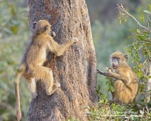 Young baboons