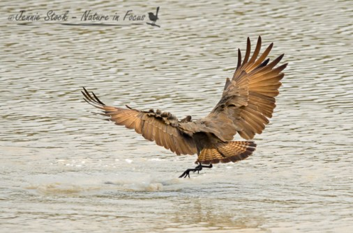 Hamerkop landing (or not)