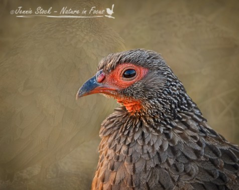 Portrait of a Swainson's spurfowl