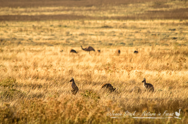 Aussie outback animals - roos and emus