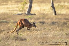 Red kangaroo on the move