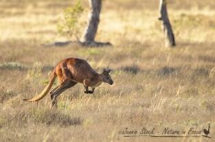 Red kangaroo on the move