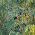 Flying foxes (Fruit bats) roosting in Wagga