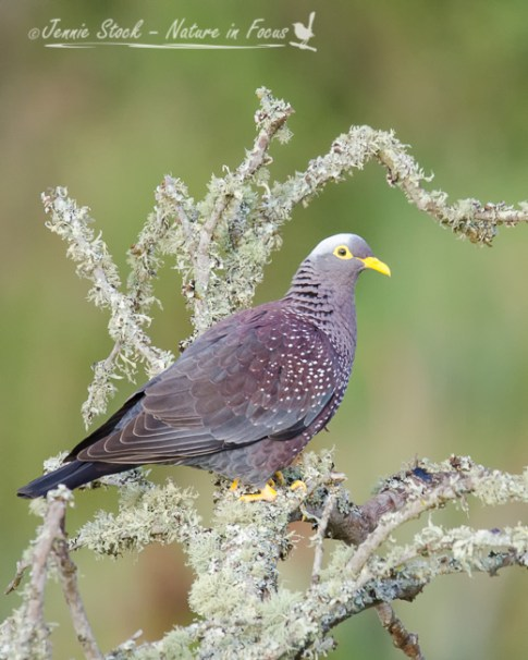 African Olive Pigeon (formerly Rameron Pigeon) seen at Bontebok National Park