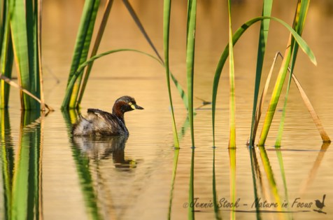 Australasian Grebe on a farm dam in the south-west