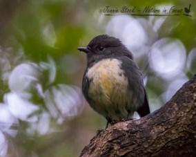 South Island Robin - very friendly birds