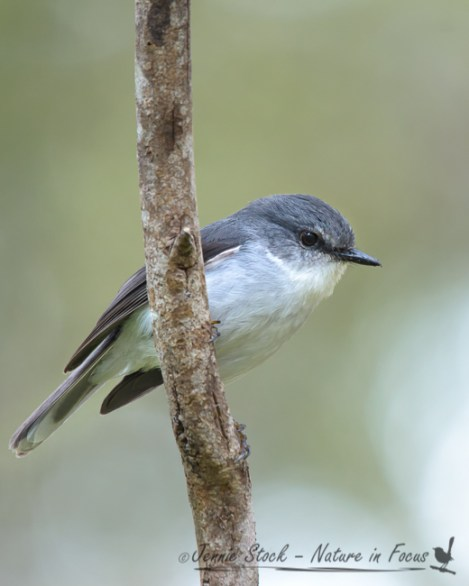 White-breasted Robin in typical pose in Western Australia's south-west forest.