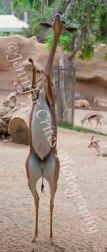 balancing antelope
