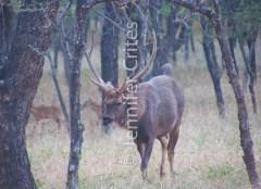 deer 369