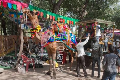 Ranthambhore camel 438