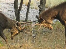 Ranthambore preserve 529