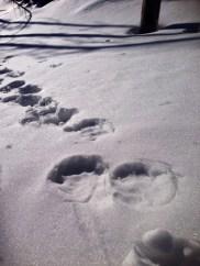 mountain lion tracks in snow