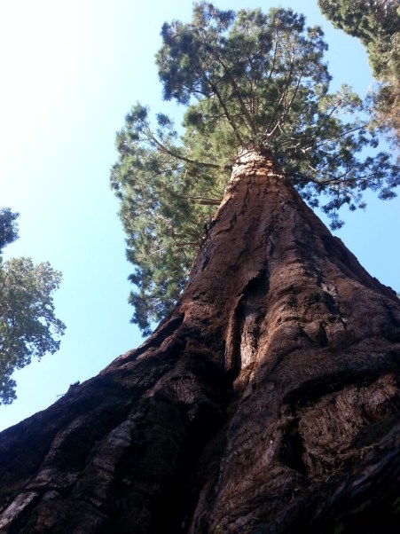 General Grant Grove (c) 2015 Jennifer Hofmann