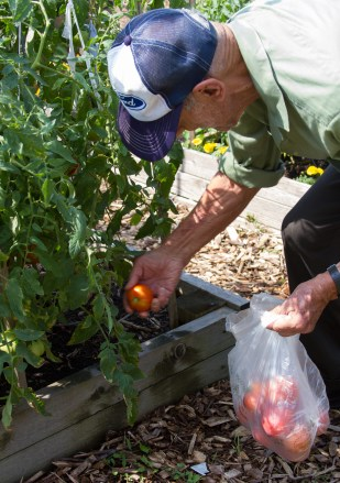 Haig Ohan pulls a ripened tomato from a vine.