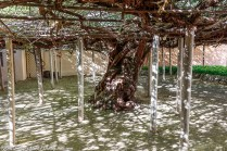 The world's largest rose tree is in Tombstone, AZ. Its branches form the roof of the patio.