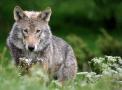 Wolf 3