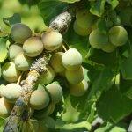 Ginkgo Biloba Fruit in Ballarat Botanical Garden