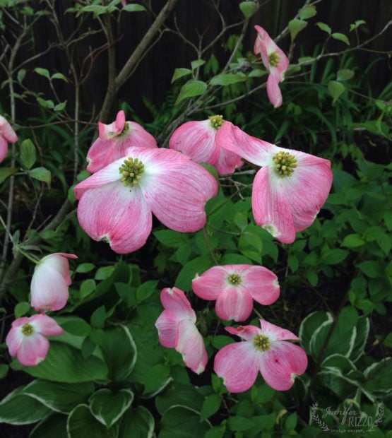 Flowering dogwood in the Midwest garden view