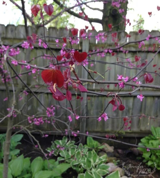 Forest Pansy redbud is a great understory tree that first blooms with pink blossoms, and then sets deep marron, heart shaped leaves.
