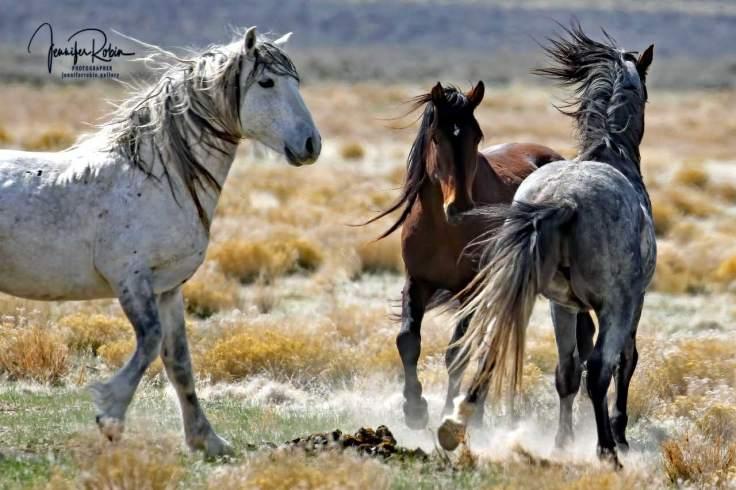 Three wild horses from Onaqui wild horse herd playing.