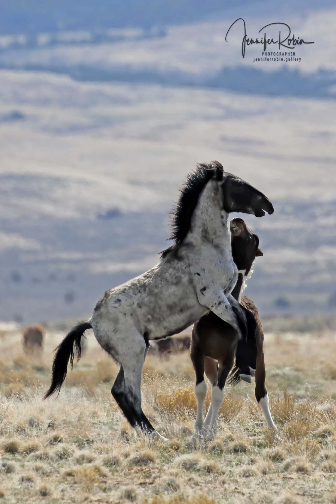 A wild horse from the Onaqui herd stands on its back legs