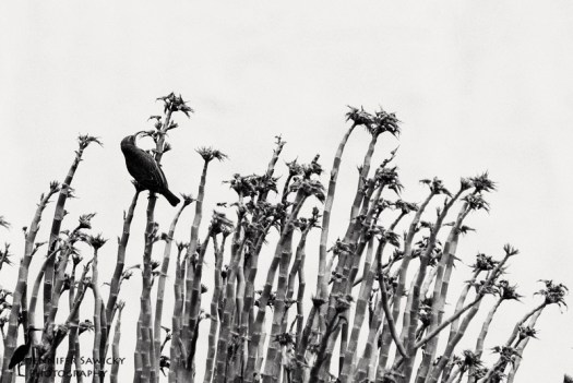 After all that editing of sunbirds in aloe plants, I wanted to try something a bit different.  This photo was taken with the house in the background, giving a stark white backdrop.  I quite like the black and white treatment.  Thoughts? 1/1600sec, f5.6, ISO 400
