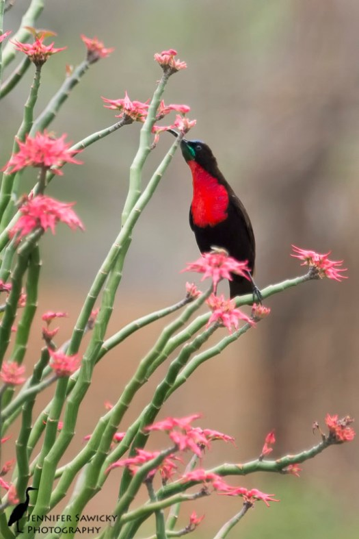 A male scarlet chested sunbird stretches for an aloe flower. 1/1000sec, f5.6, ISO 800