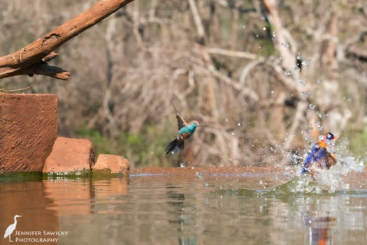 A blue waxbill comes into land at the waterhole, as the kingfisher takes her (or his) leave. 1/1250 sec, f11. ISO 5600