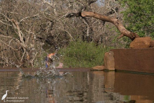 The kingfisher breaks back through the water while a laughing dove watches in the background.  1/1250sec, f14, ISO 2500