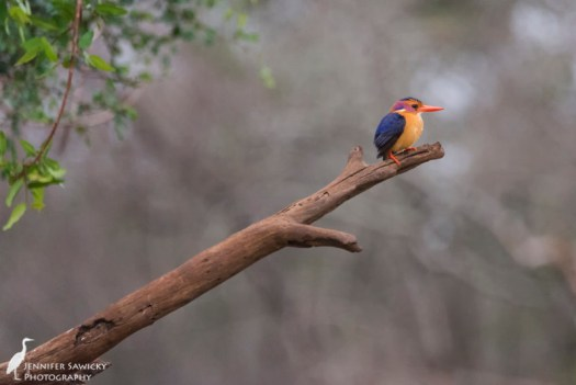 A pygmy kingfisher perches after a splash bath. 1/640sec, f5.6, ISO6400