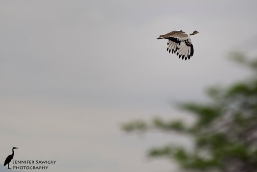 Black bellied bustard-3