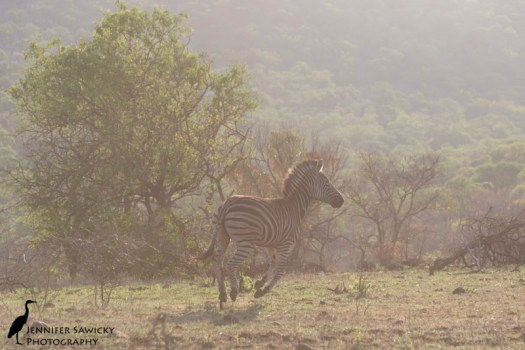 One of the skittish zebras on Zimanga Reserve, heading for the hills as the vehicle approached.