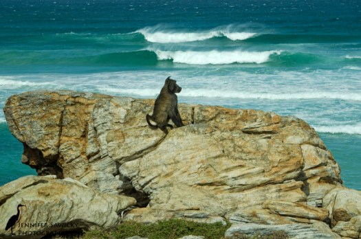 A baboon pauses from his daily activities to have a seat and gaze at the ocean. Cape of Good Hope, South Africa, April 2013