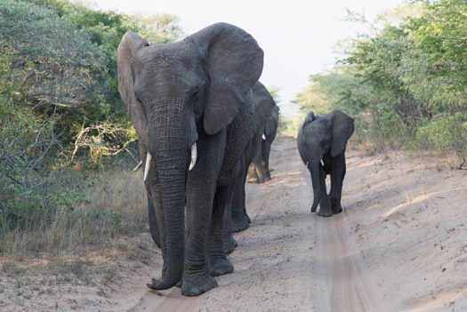 My very favourite type of grey!  A group of elephants approach along the road at Phinda Game Reserve (we kept reversing to give them the room they needed). 1/640sec, f8.0, ISO 2800