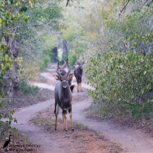 A group of male nyala block the winding way forward. Phinda Private Game Reserve, May 2015. 1/160sec, f8.0, ISO 4500