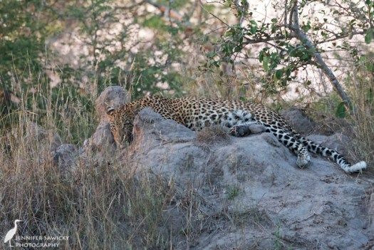 A gorgeous leopard rests atop a termite mound. 1/400sec, f8.0, ISO 5600