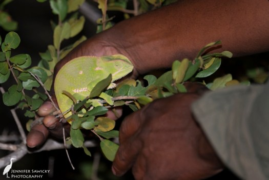 A chameleon that our tracker spotted while we headed back to camp.  I don't think he was too thrilled with being pointed at, he has a rather sour look on his face.