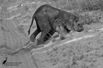 My favourite baby elephant, testing to see if sand is good eating. 1/640sec, f9.0, ISO 2000
