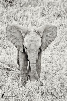 An adorable baby elephant trying to make itself look big and threatening.