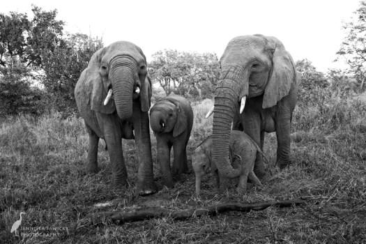 20180313_Elephants4