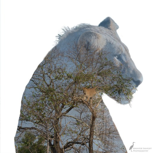 20180325_lion and leopard multiple exposure.jpg
